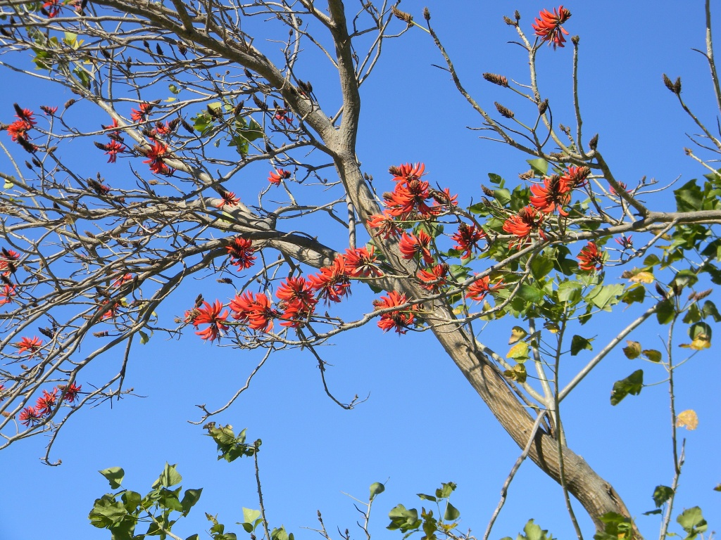 On this coral tree were already some flowers appearing. Does this mean spring is not far away any more?