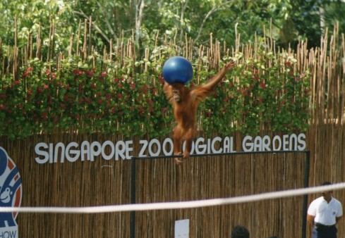 In Singapore we went to the Zoological Gardens. Peter and Caroline had breakfast with an Orangutan.