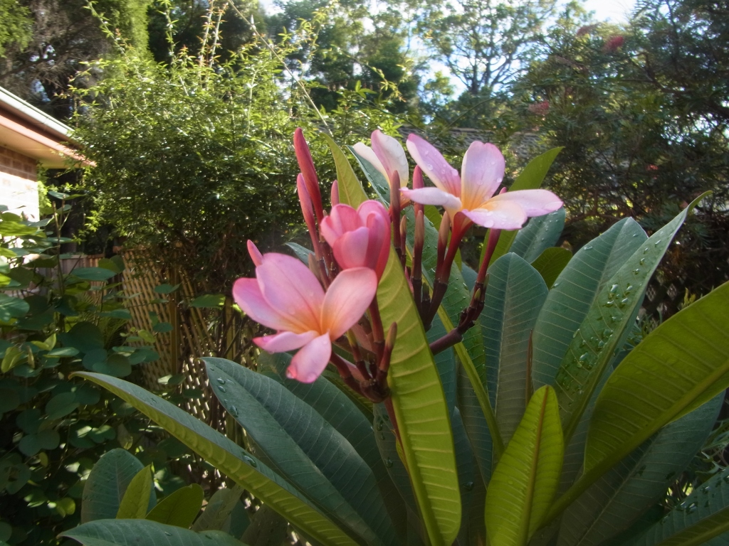 Our Frangipani bush started flowering just in time for Easter!