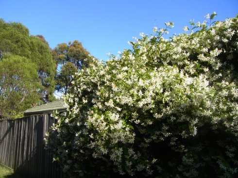 These have a beautiful smell flowering now in spring (November).