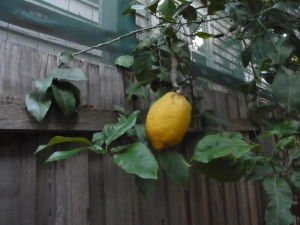 This was a very ripe one. We made good use of it!