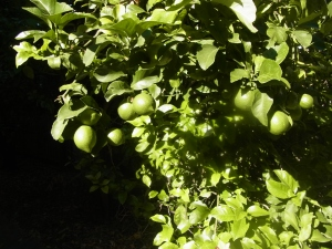 The lemon tree was full of lemons!