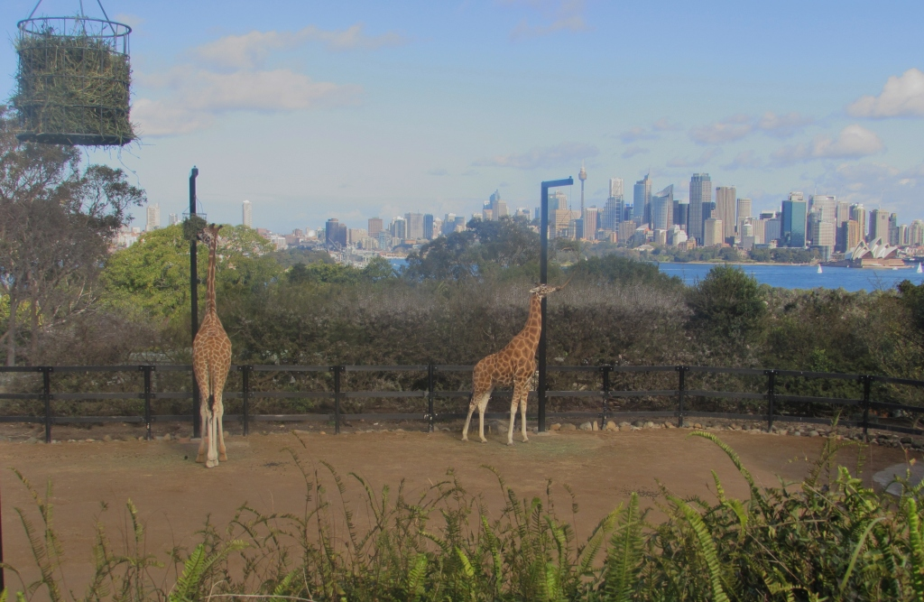 The giraffes share the great view.