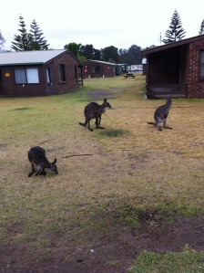 In Aug 2014 we were at Sussex Inlet and saw there a lot of kangaroos.