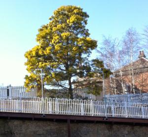 Spring is in the air - an Australian Wattle in full bloom