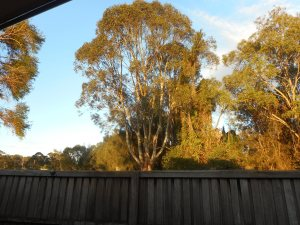 I love the early morning sunshine in the trees behind our fence.