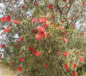 The birds love grevilleas. I pass many shrubs like these on my walks.