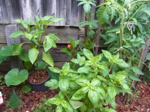 Luscious growth in our little backyard garden.